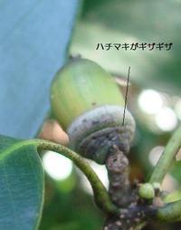 Arakashidonguri