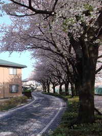 Sakura4_2