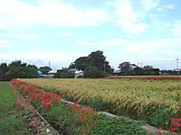 Higanbana3