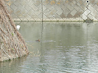 Kosagi