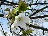 Sakura2_2
