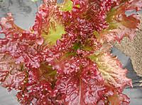 Sunny_lettuce2