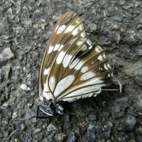 Gomadara